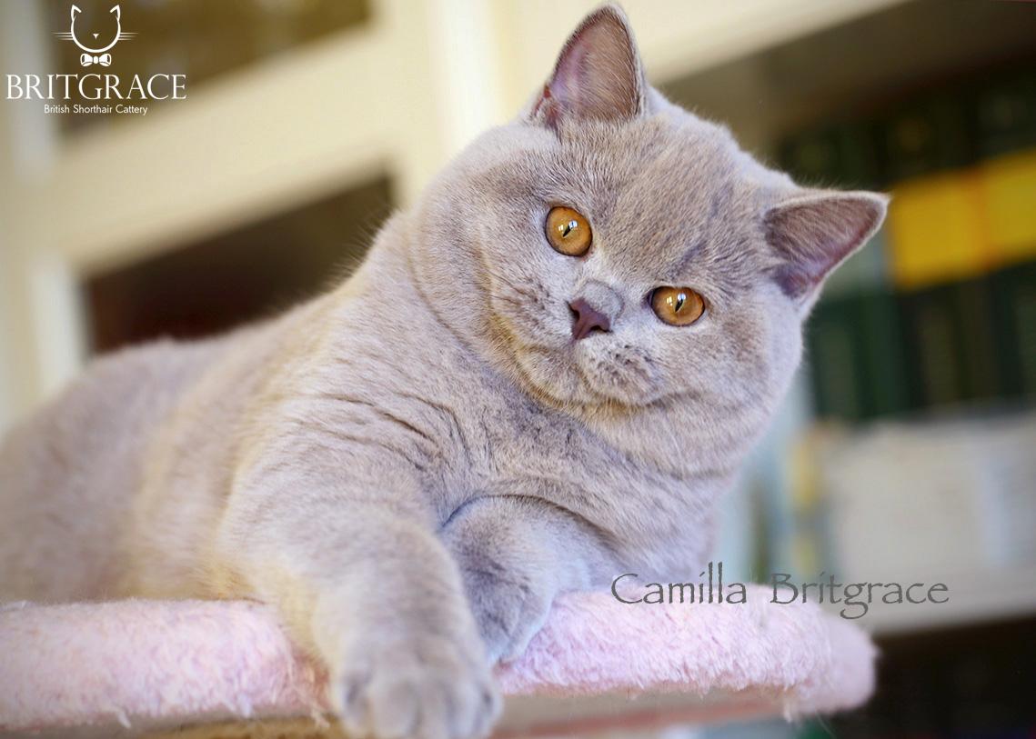 Gr Int Ch Archibald Britgrace It British Cats Britgrace Cattery