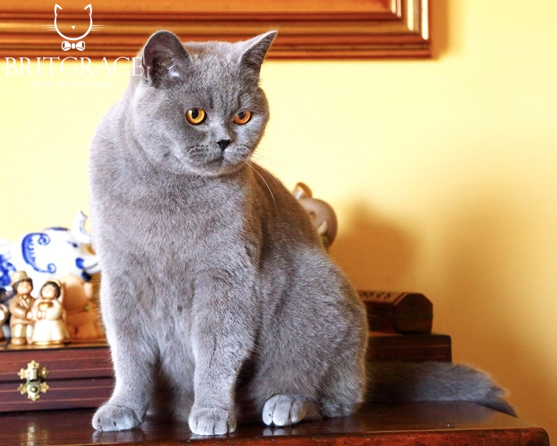 Male Or Female British Cats Britgrace Cattery