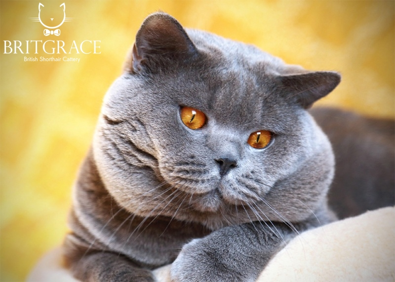 About British Shorthair - British cats  Britgrace cattery
