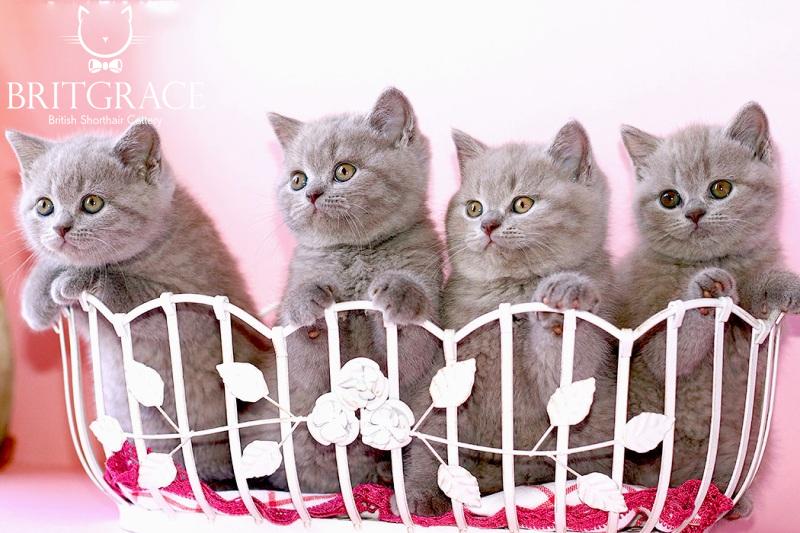 Adottare Un Gattino Gatti British Shorthair Britgraceit